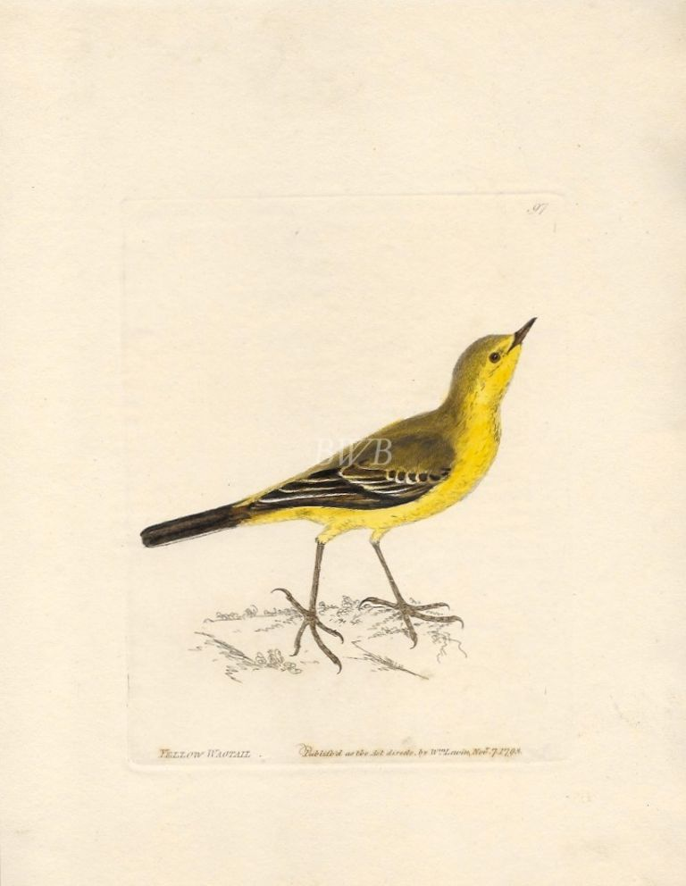 Yellow Wagtail. William Lewin.