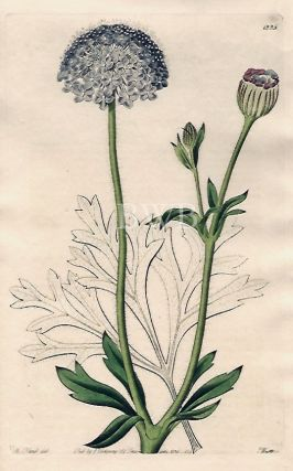 Blue-flowered Trachymene. Sydenham Edwards, John Lindley