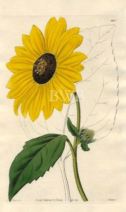 Californian Sun-flower. Sydenham Edwards, John Lindley