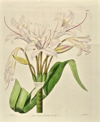 Broad-leaved Crinum. Sydenham Edwards, John Lindley