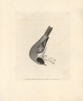 Black-cap Warbler. William Lewin