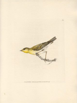 Yellow Wren. William Lewin