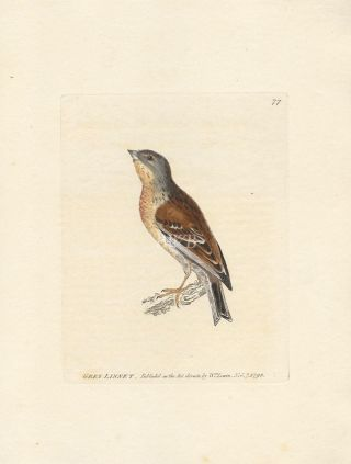 Grey Linnet. William Lewin