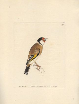 Goldfinch. William Lewin