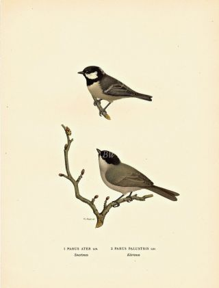 Parus Ater [and] Parus Palustris. M. von Wright, och F., W